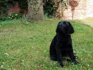 Der Labrador Retriever