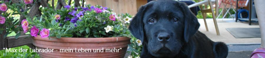 Max der Labrador – Retriever
